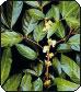 Herba Epimedia